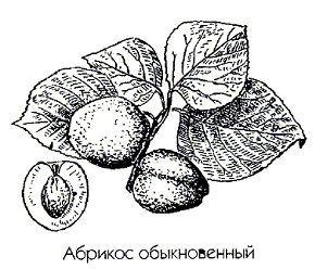 абрикос звичайний
