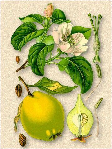 Айва звичайна Cydonia vulgaris Pers. сімейство розоцвітих