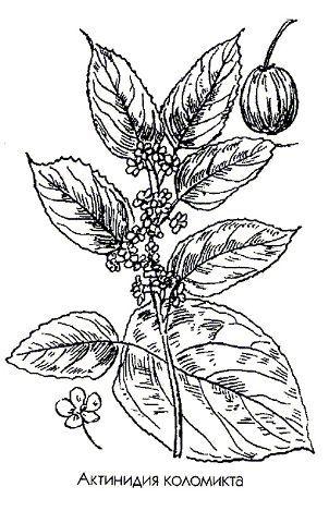 Актинідія коломікта Actinidia kolomikta Maxim. сімейство актінідіевие