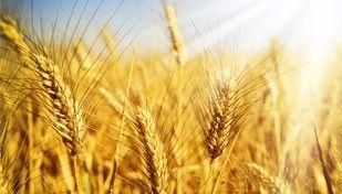 Алергія на пшеницю у дитини чим годувати