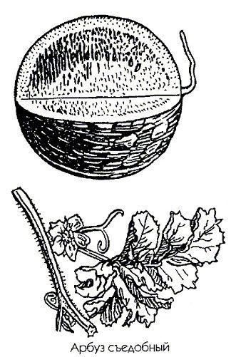 Кавун їстівний (кавун звичайний)