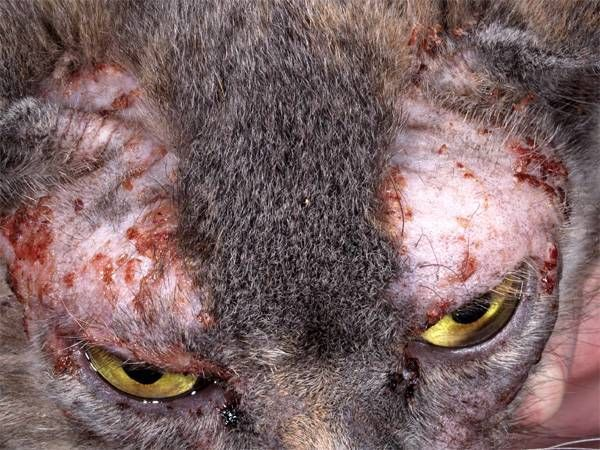 Лікування алергії у кішок препарати