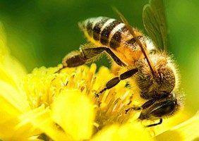 біологічно чистого прополісу зібраного бджолами