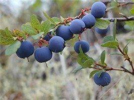Унікальні властивості північній ягоди